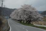 県道雨境望月線沿いの桜