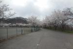 望月総合グラウンドの桜