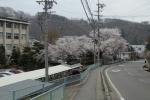 望月高校の桜