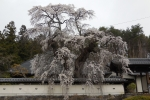 小平福王寺の桜